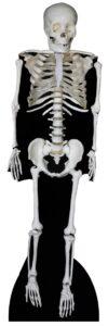 Skeleton sagoma 186 cm H